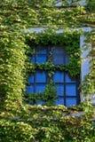 krypa murgrönaväxter omgav fönster Arkivfoton