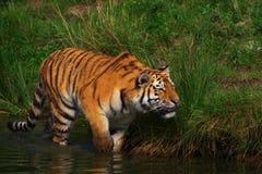 krypa siberian tiger Royaltyfri Bild
