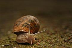 krypa snail Fotografering för Bildbyråer