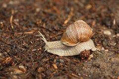 krypa snail Royaltyfria Bilder