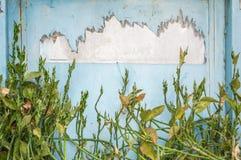 Krypa växten med ljus - blå vägg Royaltyfri Fotografi