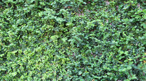 Krypa växter på väggar Royaltyfri Bild