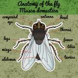 Krypanatomi Klistermärkefluga Muscadomestica kryp en realistisk fluga klipsk silhouette klipsk design för färgläggningbok stock illustrationer