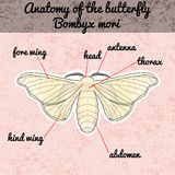 Krypanatomi Mori för klistermärkefjärilsBombyx Skissa av fjäril Fjärilsdesign för färgläggningbok hand-dragen fjäril Arkivfoto