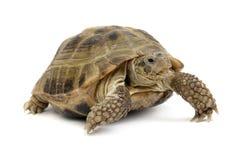 Krypande sköldpadda på en vit bakgrund royaltyfria bilder