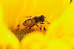 Krypbiet pollinerar den jordbruks- solrosen på en naturlig suddig bakgrund royaltyfri bild