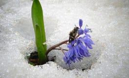 Krypet fryste på blomman Violet Flowers på våren Fotografering för Bildbyråer