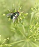 Krypfluga på det gröna bladet grön lucilia caesar för köttfluga Royaltyfri Foto