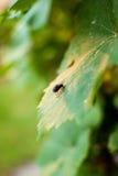 Krypfluga på ett druvablad Fotografering för Bildbyråer