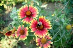 Kryphumla på blomman Arkivbild