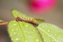 Kryplarv (Acronicta rumicis) Royaltyfria Foton