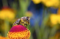 Krypmakrobiet samlar pollen på en blomma (den selektiva fokusen) Fotografering för Bildbyråer