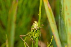 Krypmakrogräshoppan sitter på ett blad Fotografering för Bildbyråer