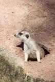 krypning för 048 meerkat ut ur hålen Royaltyfria Bilder
