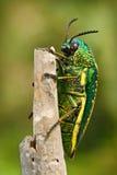 KrypSternocera sternicornis göra grön och gulna det skinande krypet som placerar på filialen ljust kryp från Sri Lanka Glansigt o arkivfoto