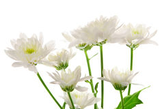 Krysantemum Arkivbild