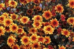 Krysantemum Royaltyfri Bild