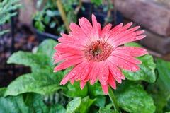 Krysantemum royaltyfria foton