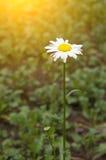 Krysantemum Royaltyfri Fotografi