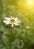 Krysantemum Fotografering för Bildbyråer