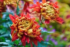 Krysantemum arkivfoto