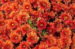 Krysantemum Arkivbilder