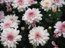 Krysantemum Royaltyfria Bilder
