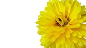 Krysantemum - en gul blomma som isoleras på den vita bakgrunden arkivfoto