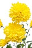 Krysantemum Härlig blomma på ljus bakgrund Arkivfoto