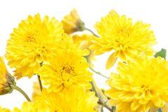 Krysantemum Härlig blomma på ljus bakgrund Royaltyfri Fotografi