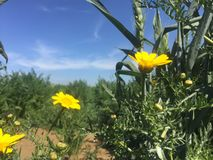 Krysantemum i solen royaltyfria foton