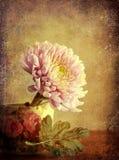 Krysantemum i tillbringare Royaltyfri Fotografi