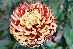 Krysantemum kallade också mor eller chrysanths, ett släkte i Asteraceaefamilj En sol som älskar växten, blommar i vår till sen so royaltyfria foton