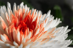 Krysantemum mot en mörk bakgrund Arkivbild