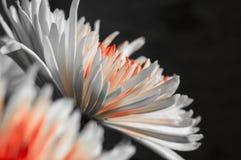 Krysantemum sidosikt mot en mörk bakgrund Royaltyfria Foton