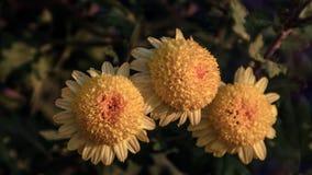 Krysantemum som beskådas från över arkivbild