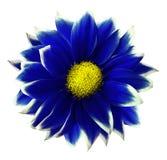 Krysantemumblått Blomma på isolerad vit bakgrund med den snabba banan utan skuggor Närbild För design Arkivbilder