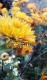 Krysantemumblomma arkivbilder