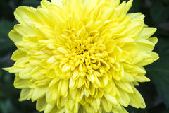 Krysantemumblomma royaltyfria foton