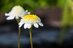 Krysantemumblomma, närbild av den lilla vita blomman fotografering för bildbyråer