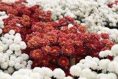 Krysantemumblomma som blommar i trädgården Royaltyfria Bilder