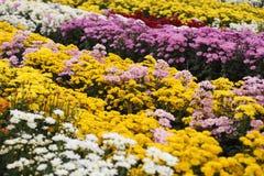 Krysantemumblomma som blommar i trädgården Royaltyfri Fotografi