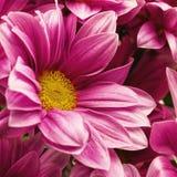 Krysantemumblommor Arkivbild