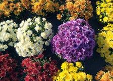Krysantemumblommor Arkivfoto