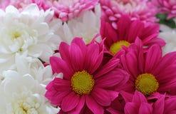 Krysantemumblommor stänger sig upp blommabakgrund royaltyfri fotografi