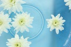Krysantemumbrunnsort arkivfoton
