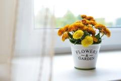 Krysantemumet blommar i en keramisk kruka Royaltyfria Bilder