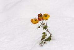Krysantemumet blommar under snötryck Fotografering för Bildbyråer