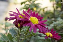 Krysantemumindicummumen blommar i blom Royaltyfri Bild