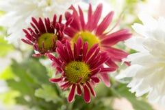 Krysantemumindicummumen blommar i blom Royaltyfri Fotografi